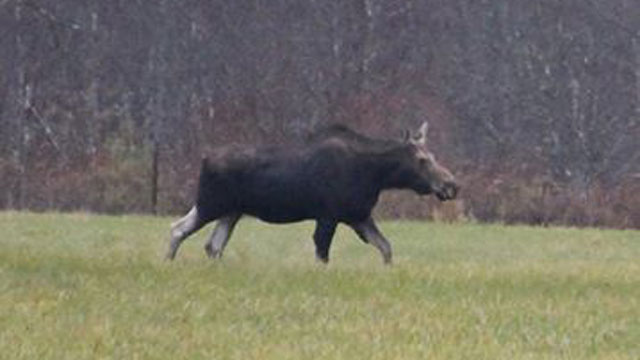 out moose